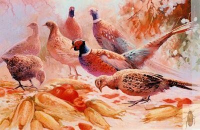 00069 Fine Picken's 24 x 36 (400)